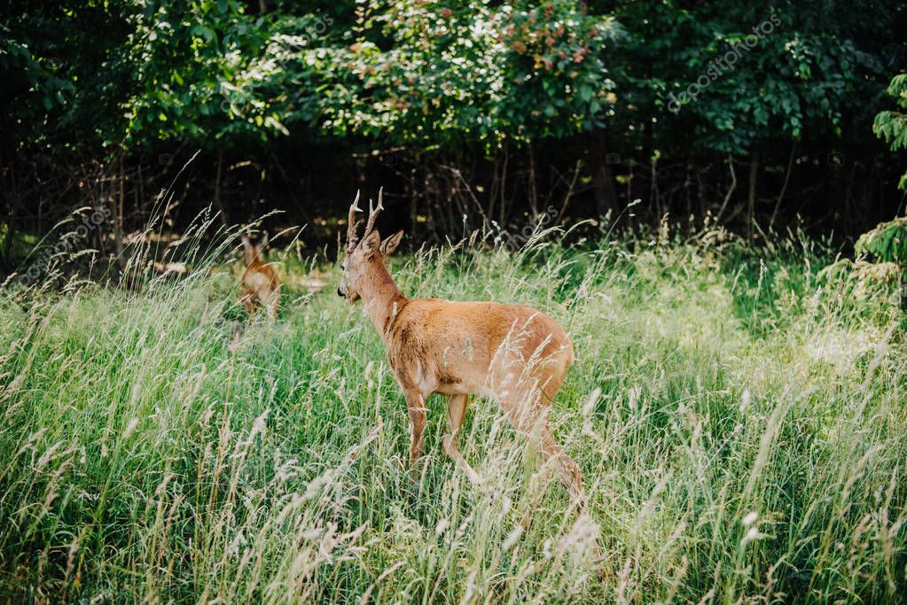 Rear view of deer walking in grass near forest stock vector