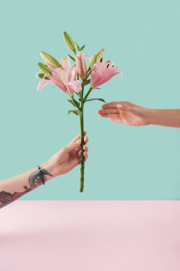 cropped view of tattooed hand presenting pink lily flowers on pastel background