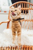 Fotografie cute red cat standing on rocking chair and licking muzzle