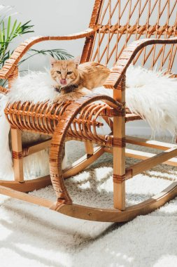 cute red cat licking muzzle and lying on rocking chair