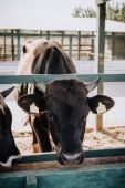 Fényképek fekete hazai gyönyörű tehén állt a farm stall