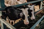 krásné domácí krávy jíst seno ve stodole na farmě