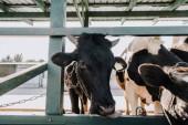 černé domácí krásné kráva stravování v kabince na farmě