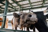 Nahaufnahme der schönen Kühe im Stall auf dem Bauernhof