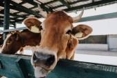 portrét od domácí hnědá kráva stravování v kabince na farmě