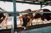 Fotografie beautiful domestic cows eating in barn at farm