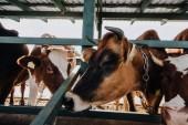 zblízka pohled domácí krásné krávy stojící v kabince na farmě