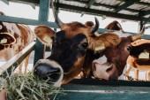 hnědá domácí krávy jíst seno v kabince na farmě