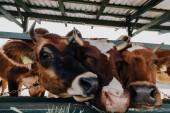 Braune Kühe fressen Heu im Stall auf Bauernhof