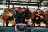 Fotografie close up portrait of domestic beautiful cows standing in stall at farm