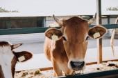 Fotografie hnědé krásné domácí krávy stojící v kabince na farmě