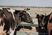 krásné domácí krávy stojící v kabince na farmě