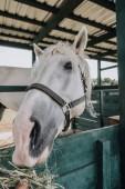 Fotografia immagine potata di persona alimentazione bianco cavallo in scuderia presso azienda agricola