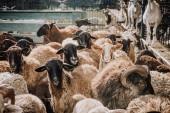 Herde entzückender brauner Schafe weidet im Gehege auf dem Bauernhof