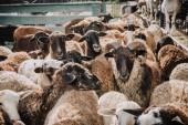 zblízka pohled stáda rozkošné hnědé ovce pastvy v ohradě na farmě