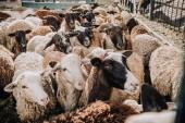 Fotografie Nahaufnahme der Herde von liebenswert braune Schafe weiden in Koppel auf der farm