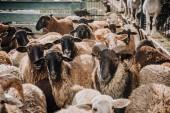 Selektiver Fokus der Herde entzückender brauner Schafe, die im Gehege auf dem Bauernhof weiden