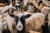 Fotografia Chiuda sul ritratto di adorabile marrone pecore al pascolo in corral presso azienda agricola