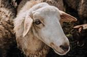 portrét rozkošné hnědé ovce pastvy na farmě