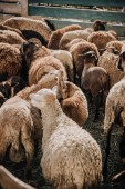 rear view of herd of adorable brown sheep grazing in corral at farm