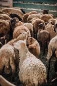 zadní pohled stáda rozkošné hnědé ovce pastvy v ohradě na farmě