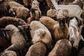 Fotografie selective focus of herd of sheep and goats grazing in corral at farm