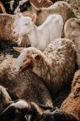 Photo close up view of goat and herd of sheep grazing in corral at farm