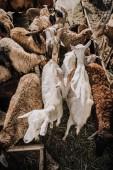 Blick auf die Schaf- und Ziegenherde, die im Gehege auf dem Bauernhof weidet