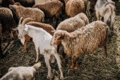 Photo goat and herd of sheep grazing in corral at farm