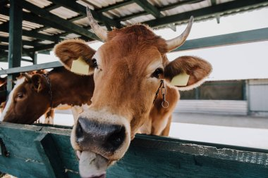 portrait of domestic brown cow eating in stall at farm