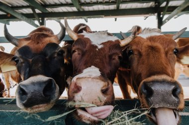 close up portrait of beautiful domestic cows eating hay in barn at farm
