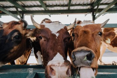 close up view of brown domestic beautiful cows eating hay in stall at farm