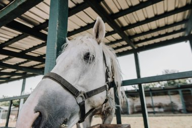 close up portrait of beautiful white horse in barn at farm
