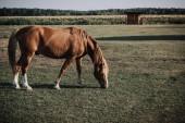 Fényképek festői kilátással a gyönyörű barna ló legeltetés réten vidéken