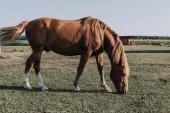 Fotografie krásné hnědé koně pasoucí se na louce v krajině
