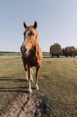 Ländliches Motiv mit schönen braunen Pferd grasen auf der Wiese auf der ranch