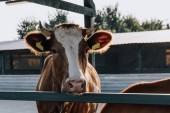 Fotografia in piedi di mucca marrone domestica nel fienile in fattoria