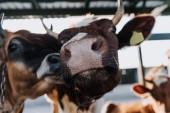 Porträt der schönen heimischen Kühe stehen im Stall am Bauernhof hautnah