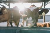 domácí krásné krávy stojící v kabince na farmě s slunečního světla na pozadí