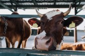 Fotografia Chiuda in su delle vacche domestiche marrone in piedi in stallo presso azienda agricola