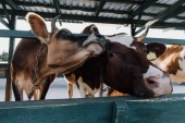 Nahaufnahme schöner Hauskühe im Stall auf dem Bauernhof