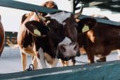 portrét krásné hnědé krávy stojící v kabince na farmě