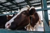 zblízka pohled domácí krávy stojící v stodole na farmě