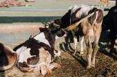 Fotografie zadní pohled na domácí krásné krávy na farmě