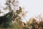 Fotografie selective focus of burdock and sunlight on blurred background