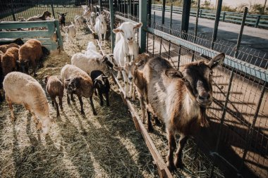 Herd of sheep and goats standing near fence in corral at farm stock vector
