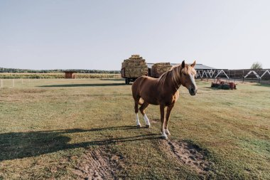 scenic view of beautiful brown horse grazing on meadow at farm