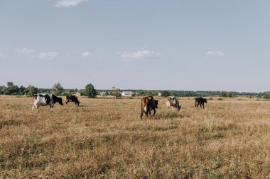 distant view of cows grazing on meadow in countryside