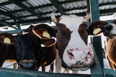 Selective focus of beautiful domestic cows standing in stall at farm stock vector