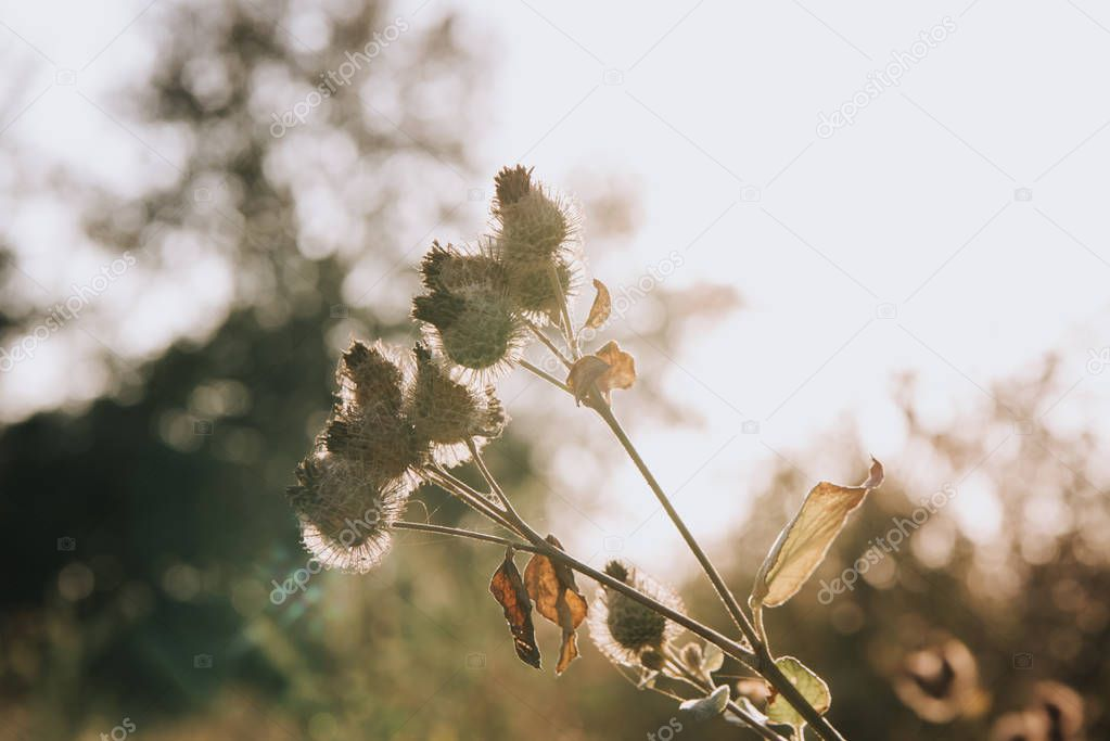 selective focus of burdock and sunlight on blurred background